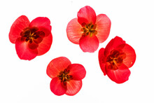 Red Begonia Flowers On The White Background