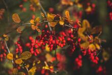 Germany, Branch Of Common Barberry (Berberis Vulgaris) In Autumn