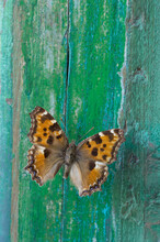 Butterfly On Flaking Green Wood