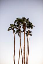 USA, California, Palm Springs, Group Of Palm Trees Under Blue Sky
