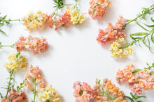 Snapdragon Spring Flowers Isolated On White Background