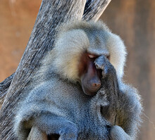 A Baboon That's Deep In Thought.