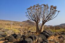 Africa, Namibia, Quiver Tree, Aloe Dichotoma, Namib Desert, Namib Naukluft Mountains