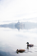 Slovenia, Gorenjska, Bled, Couple Of Mallard Ducks Swimming On Bled Lake With Bled Island Behind On A Foggy Winter Morning