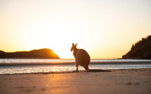 Australia, Queensland, Mackay, Cape Hillsborough National Park, Back View Of Wallaby On The Beach At Sunrise