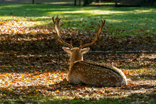 Male Adult Deer Animal Resting On Grass In Park