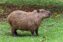 Young Rodent Animal, Capybara And Scientific Name Hydrochoerus Hydrochaeris