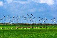 Geese Flying Above Field