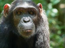 Cameroon, Pongo-Songo, Portrait Of Young Chimpanzee (Pan Troglodytes)
