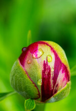 Raindrops On Budding Peony (Paeonia Officinalis)