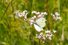 Germany, Close-up Of Large White (Pieris Brassicae) Perching On Wildflower