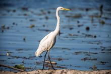 Great Egret (Ardea Alba) Standing On Driftwood