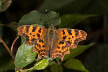 Close Up Of Comma (Polygonia C-album) Butterfly