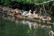 MallardsÔøΩ(Anas Platyrhynchos) Standing In Row On Branch Floating In Lakeshore Water