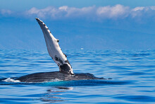 Humpback Whale Leisurely Lying On Its Side With Its Pectoral Fin Stretched Out