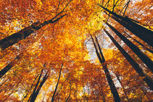 USA, Tennessee, Canopies Of Yellow Forest Trees In Autumn