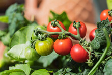 Close-up Of Growing Tomatoes (Solanum Lycopersicum)
