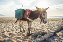 Donkey With Baskets On The Beach, Tafedna, Morocco