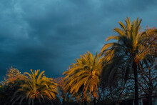 Coconut Palms At Sunset  With Cloudy Sky, Huelva, Spain
