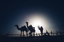 North Africa, Sahara Desert, Silhouettes Of Four Dromedaries At Backlight Behind Fence