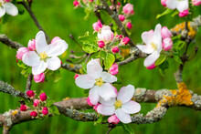 Germany, Branches Of Blossoming Apple Tree