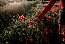 Little Girl Plucking Poppies In The Field