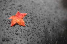 Germany, Brandenburg, Potsdam, Red Autumn Leaf Lying On Black Surface Covered In Raindrops