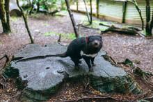 Australia, Tasmania, Cradle Mountain-Lake St Clair National Park, Tasmanian Devil Pupy