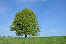 Germany, Bavarira, Franconia, Cherry Tree In Meadow