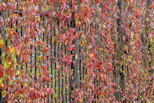 A Metal Fence Covered With Ivy On An Autumn Day