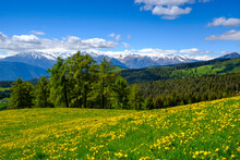 Italy, South Tyrol, Salten, Dandelions Blooming In Countryside Meadow