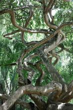 Sri Lanka, Central Province, Kandy, Intertwined Weeping Figs (Ficus Benjamina) InÔøΩRoyal Botanical Gardens