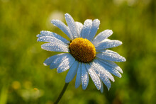 Close-up Of Wet White Daisy Blooming Outdoors, Bavaria, Germany