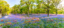 Bluebells Flowering In The Forest, Perth, Scotland