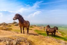 United Kingdom, Scotland, North Berwick Law, Exmoor Ponies