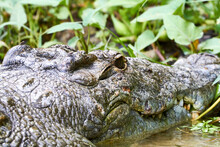Africa, Uganda, Fort Portal, Elizabeth National Park, Portrait Of A Crocodile