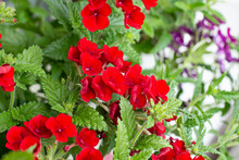 Verbena Plant With Bright Red Flowers Close Up