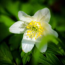 Germany, Wood Anemone (Anemone Nemorosa) In Bloom