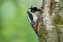 Great Spotted Woodpecker Feeding Fledgling