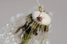 Tick On Dandelion Head