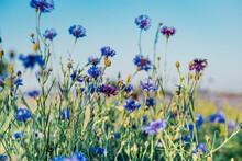 Close-up Of Fresh Purple Cornflowers Growing On Field Against Sky