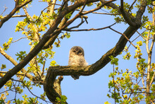 Germany, Low Angle View Of Owlet Perching On Tree Branch In Spring