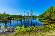 Australia, Queensland, Water Lilies And Dead Trees In Summer Lake