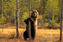 Wild Brown Bear Standing Against A Tree