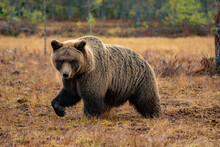 Wild Brown Bear In The Swamp