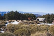 Spain, Andalusia, Granada, Andalusian Wild Horses In Snow