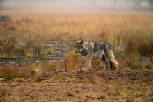 Wolves In The Finish Taîga