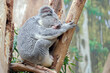 canvas print picture - Koala ( Phascolarctos cinereus ).