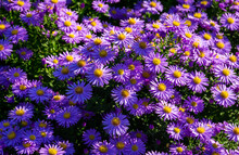 Beautiful Shot Of New England Aster Flowers In A Garden