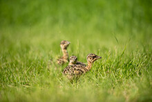 Young Big Bustard On Green Field